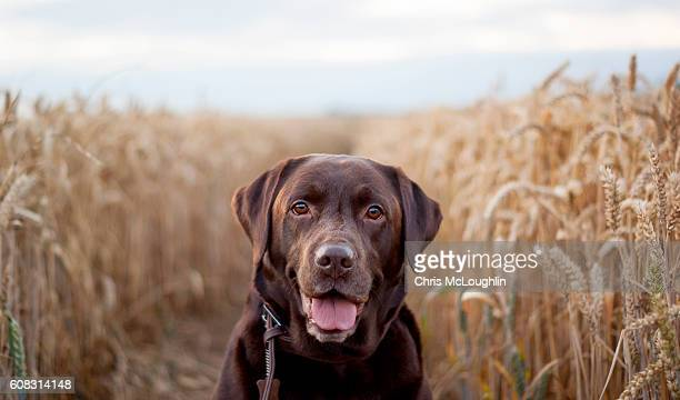 chocolate labrador in a wheat field - chocolate labrador stock pictures, royalty-free photos & images