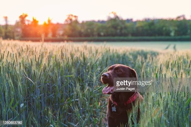 chocolate labrador in field at sunset - beauty in nature stock pictures, royalty-free photos & images