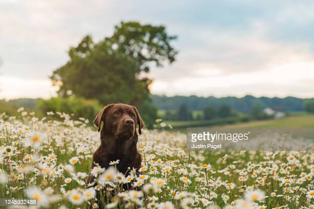 chocolate labrador in field of daisies at sunset - dog stock pictures, royalty-free photos & images