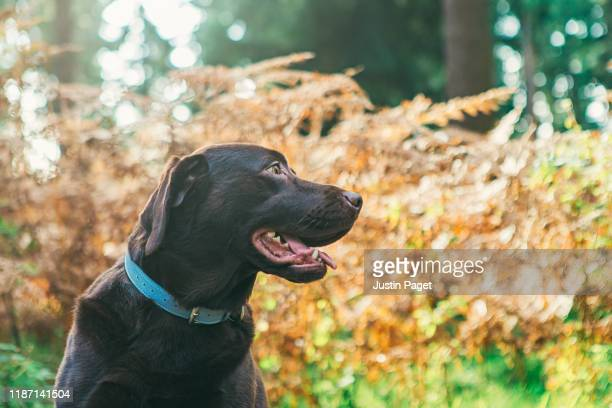 chocolate labrador in forest - dog stock pictures, royalty-free photos & images