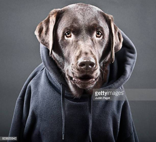 chocolate labrador in hooded top - anthropomorphic stock pictures, royalty-free photos & images