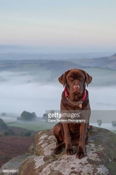 Chocolate Labrador in the Countryside