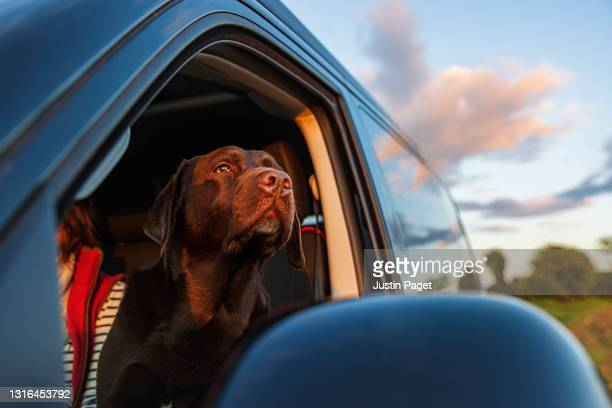 chocolate labrador looking out of campervan window - outdoor pursuit stock pictures, royalty-free photos & images