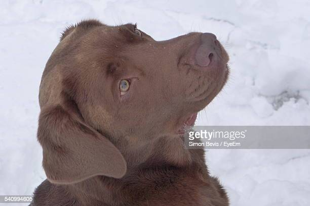Chocolate Labrador Looking Up In Snow
