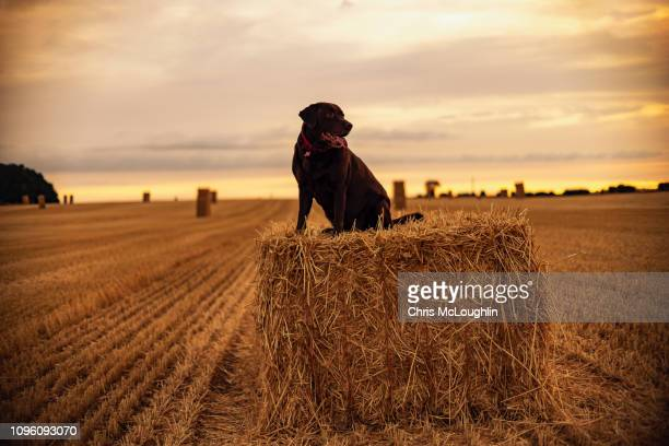 chocolate labrador on a hey bale - chocolate labrador stock pictures, royalty-free photos & images