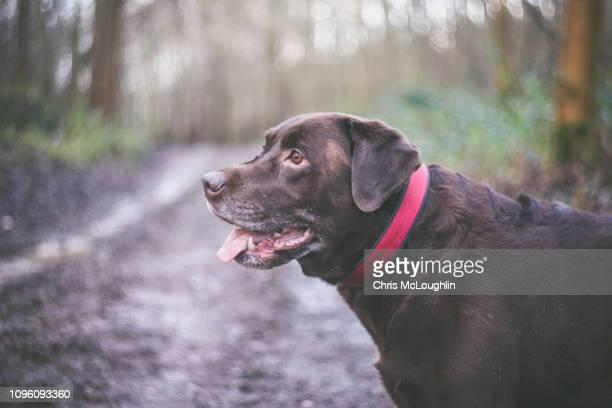 Chocolate Labrador out in woodland