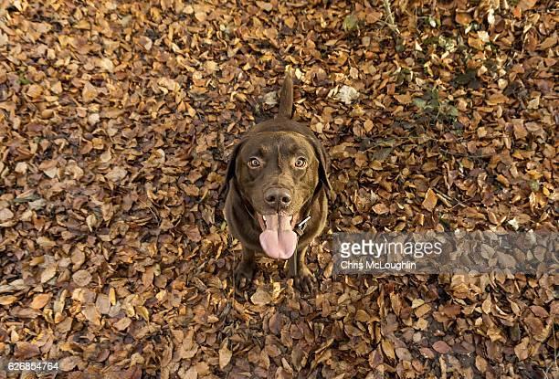 chocolate labrador - chocolate labrador stock pictures, royalty-free photos & images