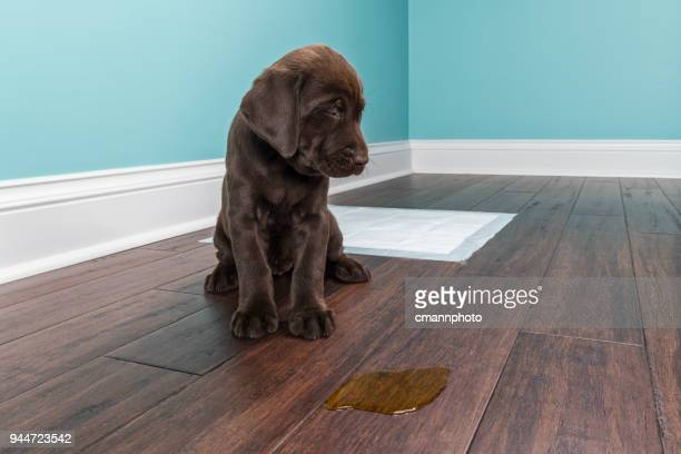 a chocolate labrador puppy grimacing next to pee on wood floor - 8 weeks old - urine stock photos and pictures
