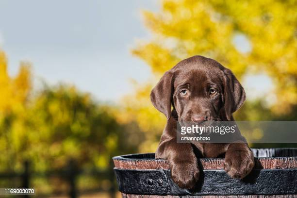 chocolate labrador puppy in a faux wooden barrel - 8 weeks old - chocolate labrador stock pictures, royalty-free photos & images