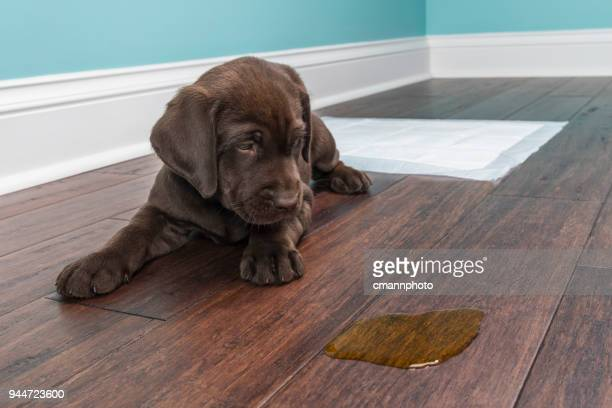 a chocolate labrador puppy looking at the pee on wood floor - 8 weeks old - urine stock pictures, royalty-free photos & images