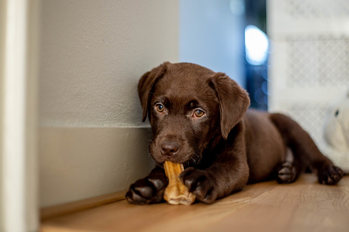 Chocolate labrador puppy lying and chewing a dog bone 1130714351