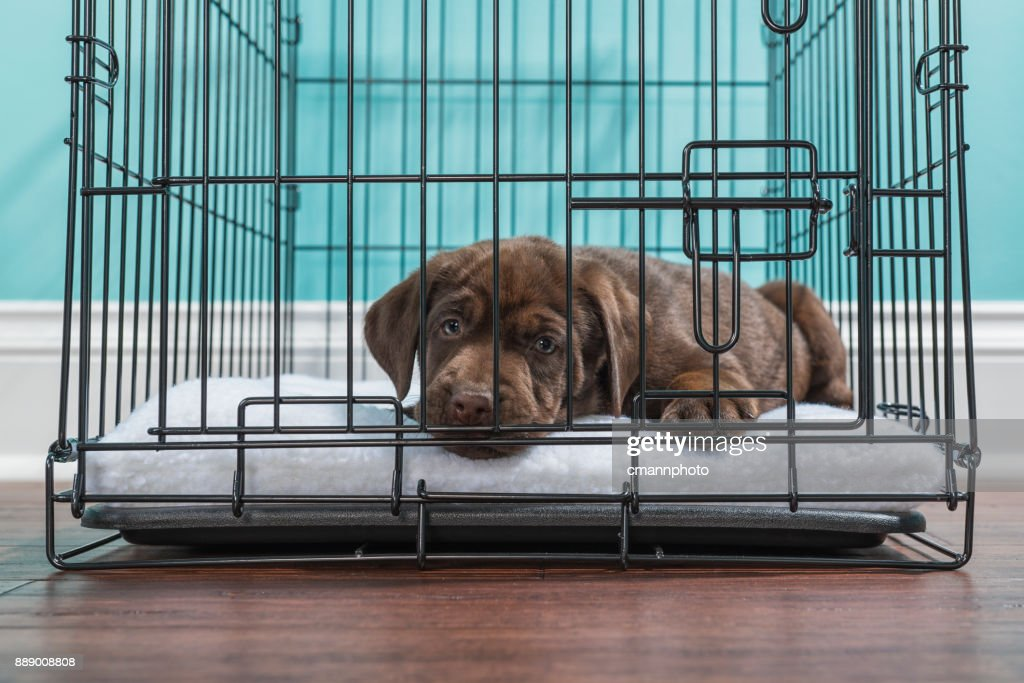 Chocolate Labrador Puppy Lying Down In A Wire Crate 7 Weeks Old ...