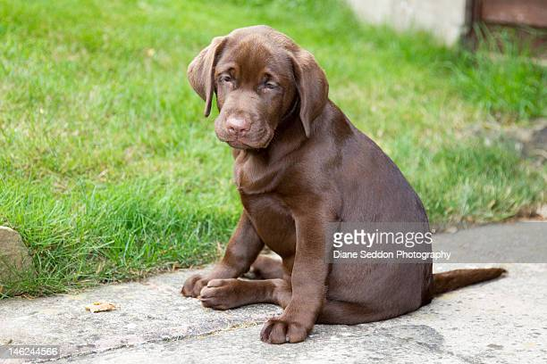 chocolate labrador puppy - chocolate labrador stock pictures, royalty-free photos & images