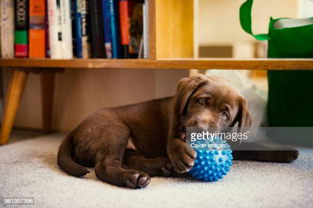 chocolate labrador puppy playing with blue toy at home - one animal stock pictures, royalty-free photos & images