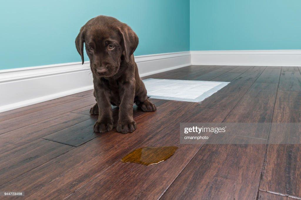 Un cachorro de Labrador Chocolate sentado al lado de pis en el piso de madera - 8 semanas de edad : Foto de stock