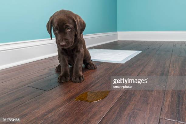 a chocolate labrador puppy sitting next to pee on wood floor - 8 weeks old - blame stock pictures, royalty-free photos & images