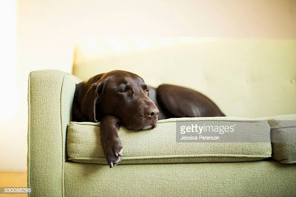 Chocolate Labrador resting on sofa