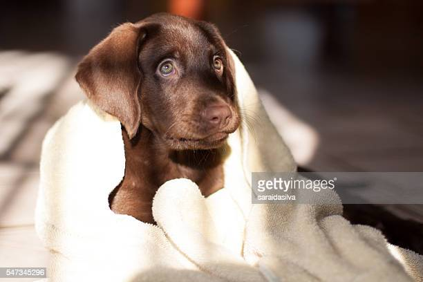 chocolate labrador retriever bath time - couples showering stock pictures, royalty-free photos & images