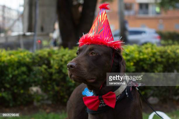 chocolate labrador retriever birthday - garrapata de perro fotografías e imágenes de stock
