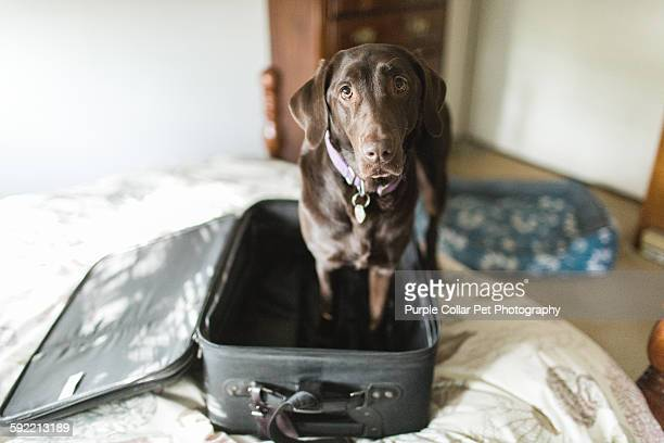 chocolate labrador retriever dog in empty suitcase - domestic animals stock pictures, royalty-free photos & images