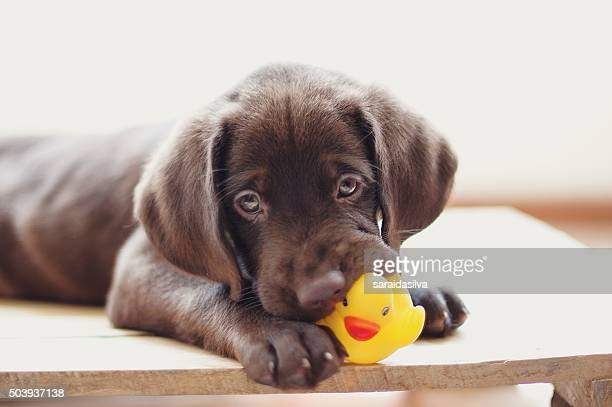 chocolate labrador retriever - puppy stock pictures, royalty-free photos & images