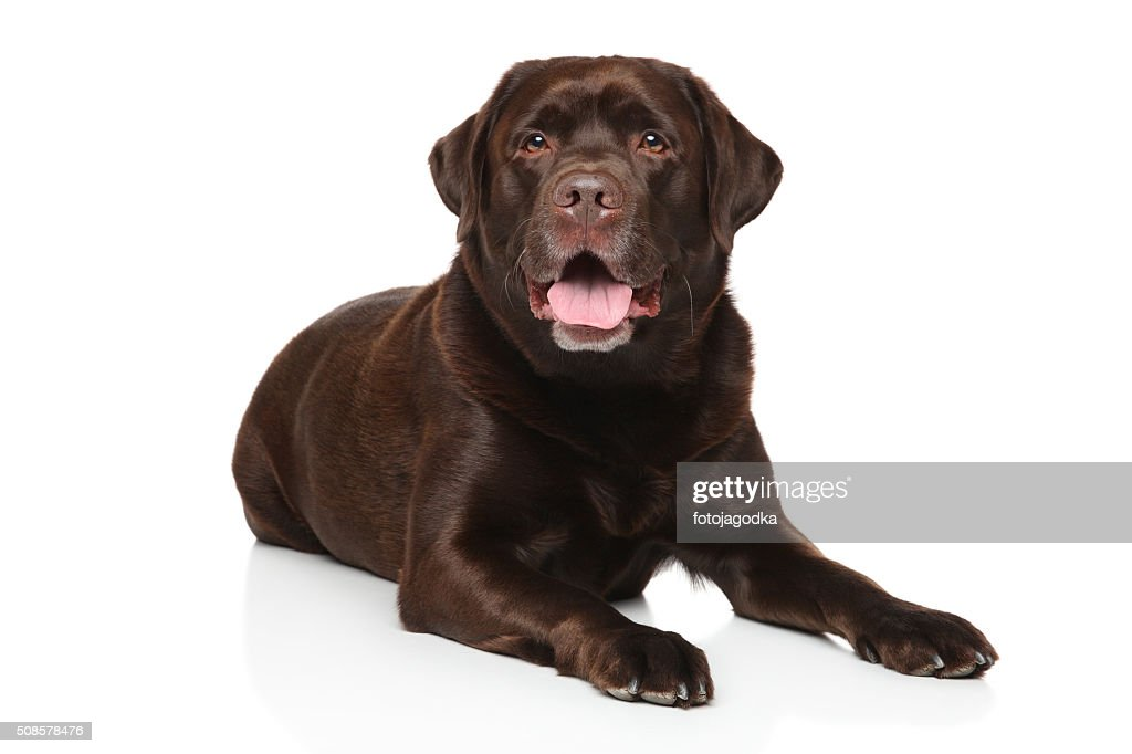 Chocolate Labrador retriever : Stock Photo