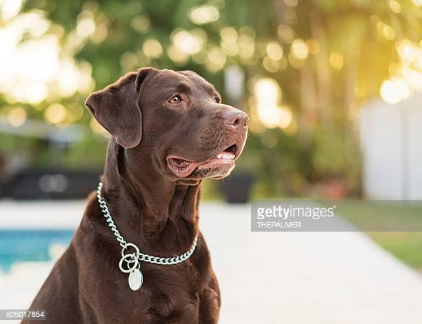 chocolate  labrador retriever - labrador retriever stock photos and pictures
