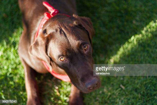 chocolate labrador retriever - dog tick stock pictures, royalty-free photos & images