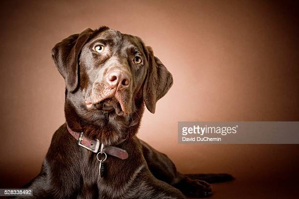 Chocolate Labrador Retriever; Portrait of a labrador