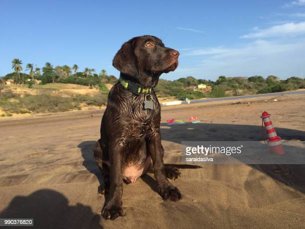 chocolate labrador retriever puppy at beach - theobroma imagens e fotografias de stock