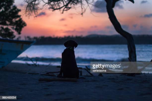 chocolate labrador retriever puppy at beach - garrapata de perro fotografías e imágenes de stock