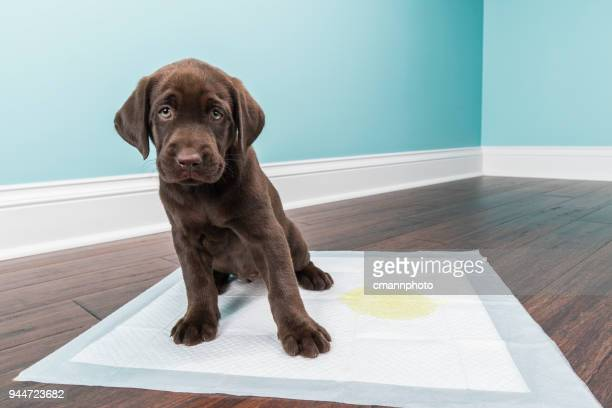 chocolate labrador retriever puppy sitting on the training pad - 8 weeks old - urine stock pictures, royalty-free photos & images