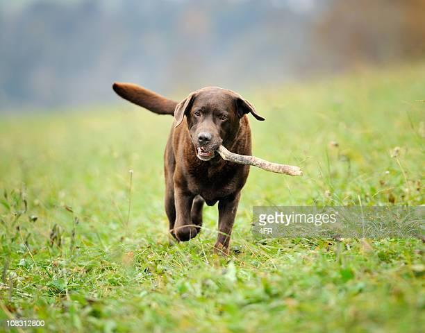 chocolate labrador retrieving stick (xxxl) - labrador retriever stock pictures, royalty-free photos & images