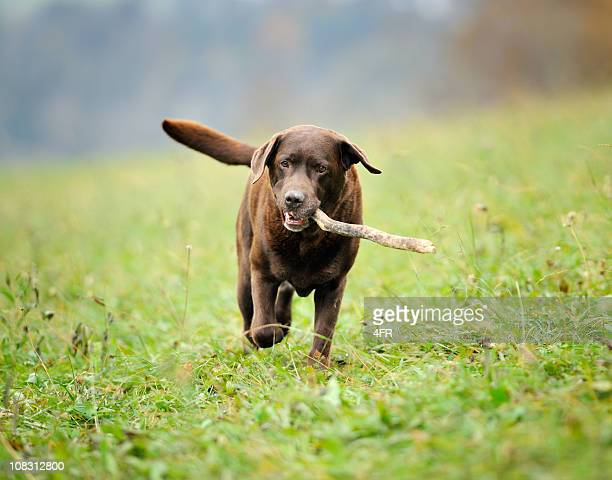 chocolate labrador retrieving stick (xxxl) - chocolate labrador stock pictures, royalty-free photos & images