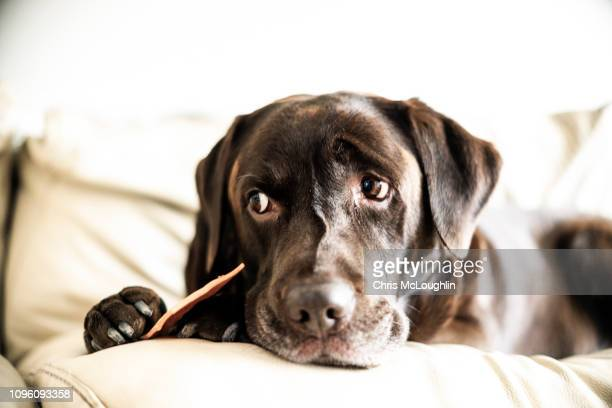 chocolate labrador sat of the sofa with treat - pampered pets stock pictures, royalty-free photos & images
