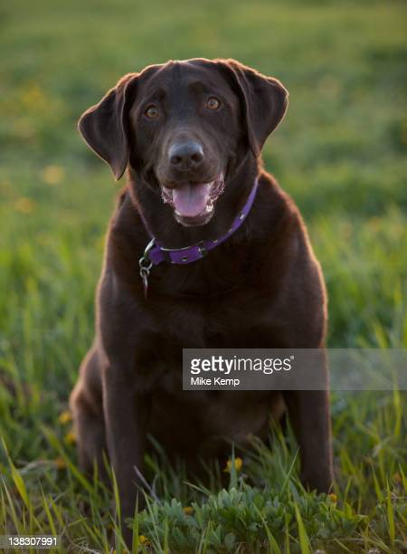 chocolate labrador sitting in grass - chocolate labrador stock pictures, royalty-free photos & images