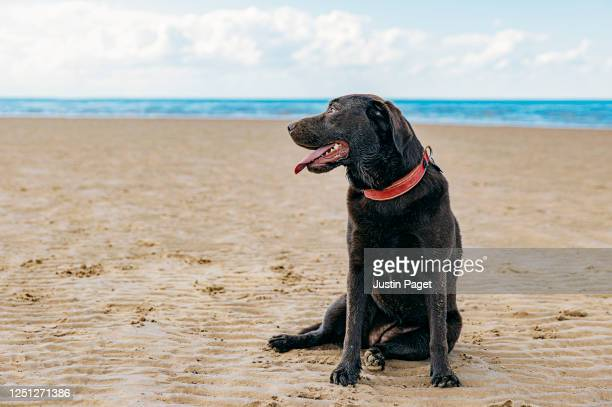 chocolate labrador sitting on the beach - beach stock pictures, royalty-free photos & images