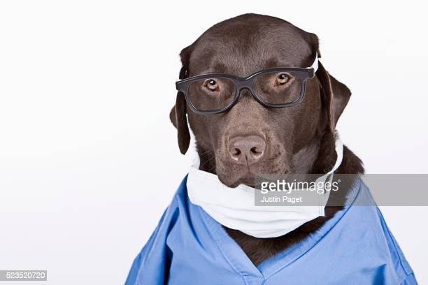chocolate labrador surgeon - funny surgical mask stock pictures, royalty-free photos & images