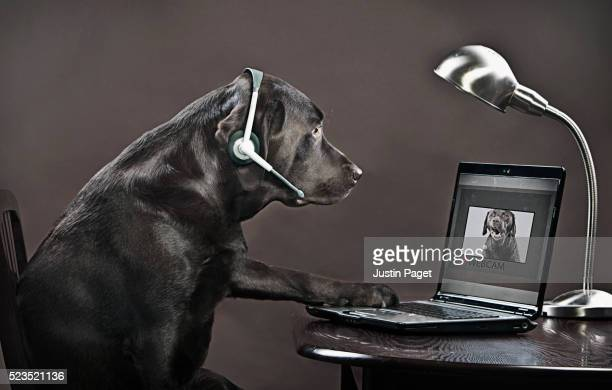 chocolate labrador teleconferencing on laptop - surfing the net stock pictures, royalty-free photos & images