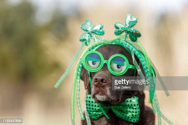 chocolate labrador wearing funny glasses on saint patrick's day - st patricks day stock pictures, royalty-free photos & images