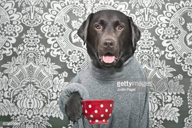 Chocolate Labrador with Cup of Tea