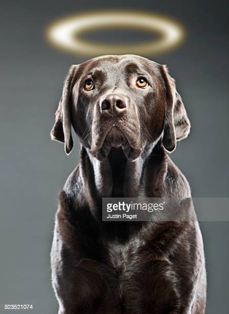 chocolate labrador with halo - angel halo stock pictures, royalty-free photos & images