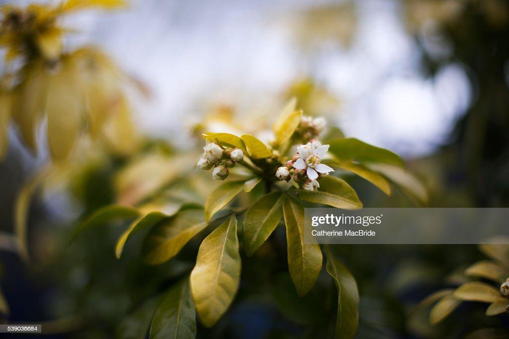 Choisya ternata in bloom : Foto de stock