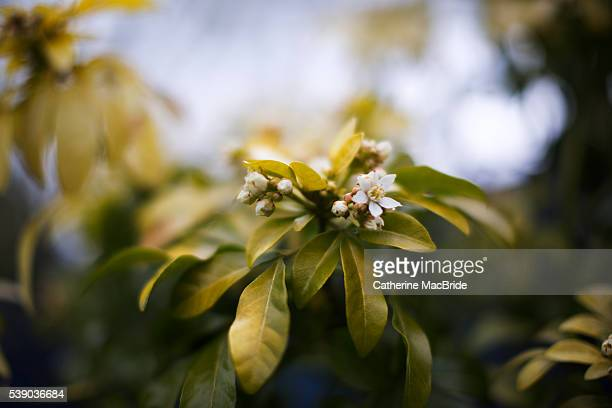 choisya ternata in bloom - catherine macbride stock pictures, royalty-free photos & images