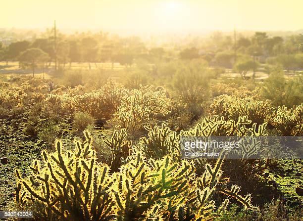 cholla cactus desert landscape in phoenix, arizona - südwesten stock-fotos und bilder