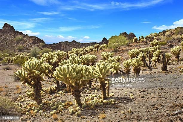 cholla cactus forest in sonora desert - desierto sonorano fotografías e imágenes de stock