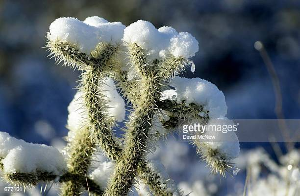 A cholla cactus in the desert near Pinon Hills CA is covered with snow January 28 as a storm moves out of southern California leaving skies of blue