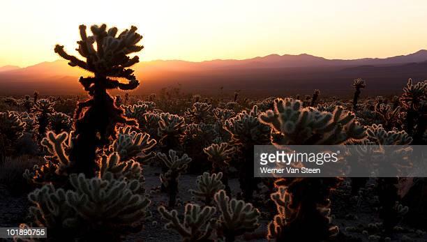 cholla cactus (cylindropuntia bigelovii) - nature stockfoto's en -beelden