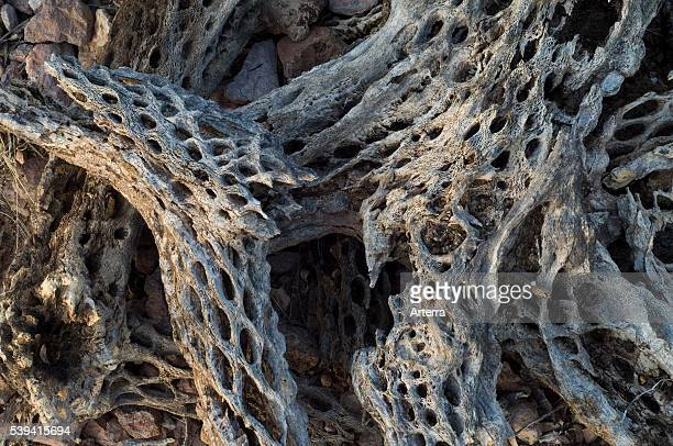 Cholla cactus skeleton showing wooden tubular supporting structure with oval openings Sonoran desert Arizona US