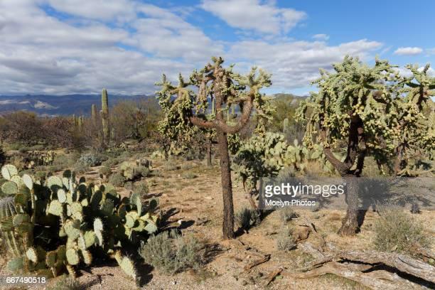 Cholla Cactus Trees